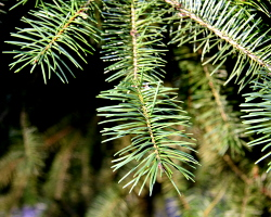christmas-tree-needles